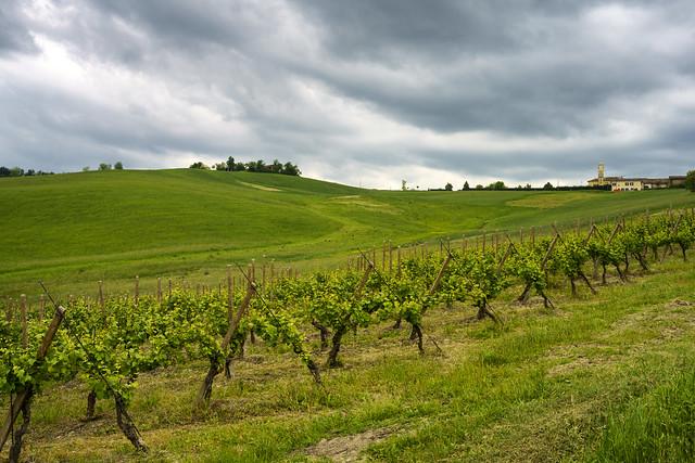 Vineyards in Oltrepo Pavese, italy, at springtime