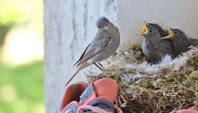 nid de rouge-queues noirs sur mon balcon