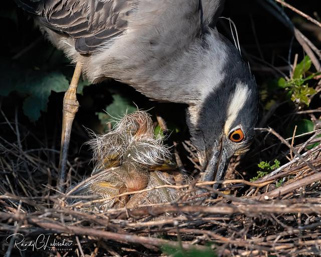 Yellow-crowned Night Heron | Nyctanassa violacea | 2021 - 3