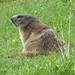 Marmot in Val da Fain