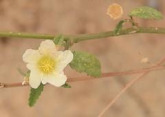 Sida spinosa L. Malvaceae
