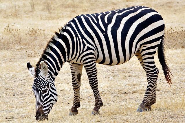 Zebra Grazing (Equus quagga)