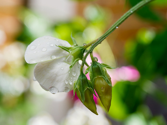 Sweet Pea after a rain shower
