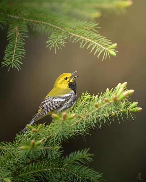 Paruline à gorge noire // Black-throated // Green Warbler