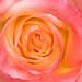 Pink & Yellow Rose, 4.24.18