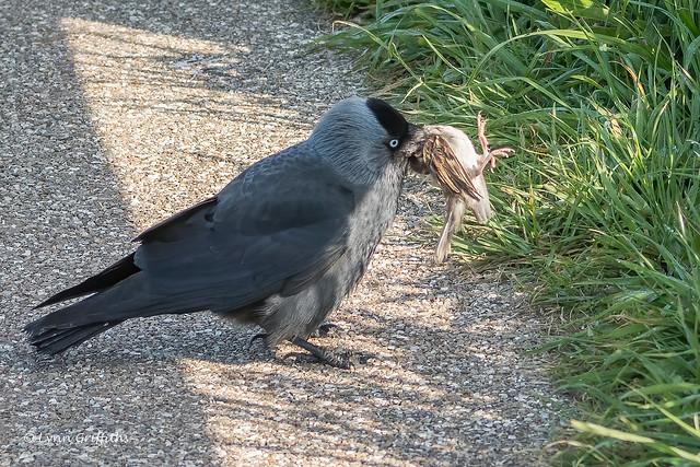 Jackdaw with prey 503_3525.jpg