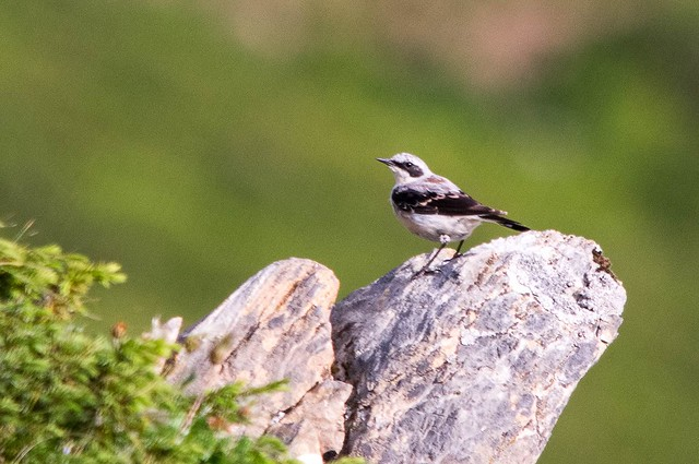 Oiseau d'Aréou (Ariège)