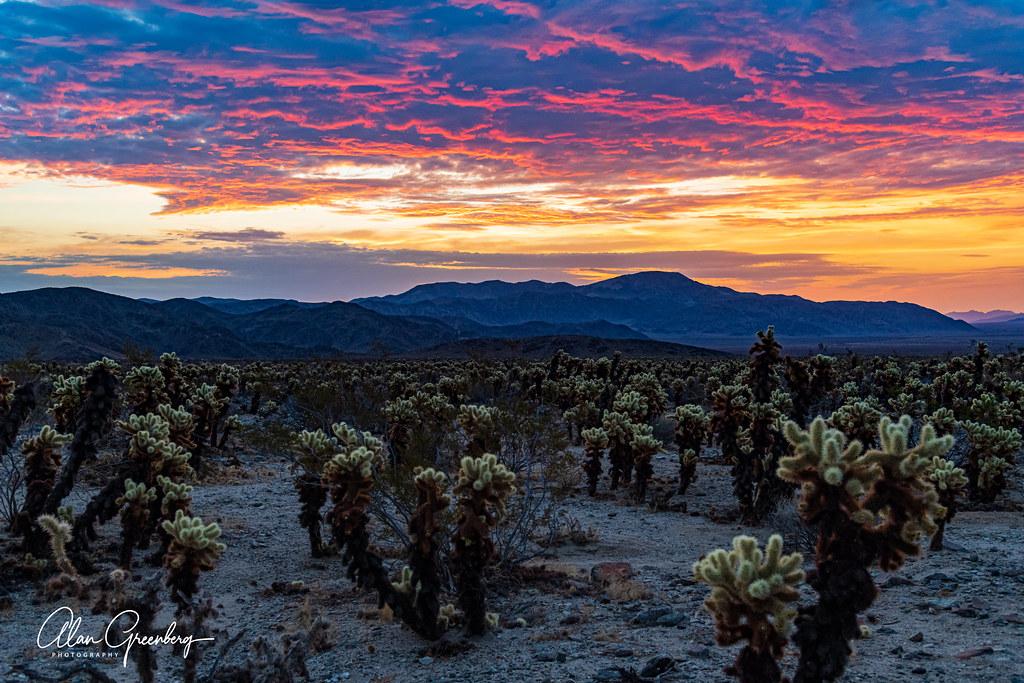 Sunrise at the Cholla Cactus Garden