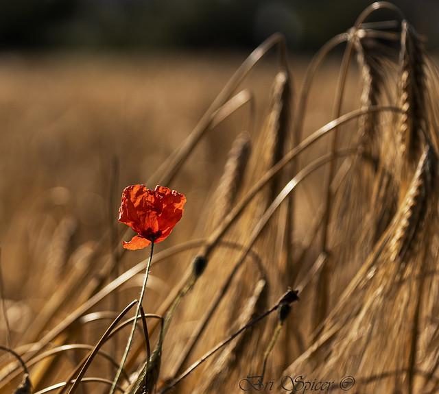 Lying in a field of gold 2