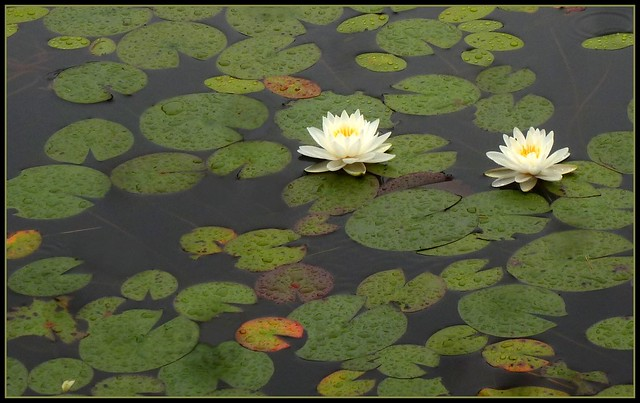 Well-watered lilies