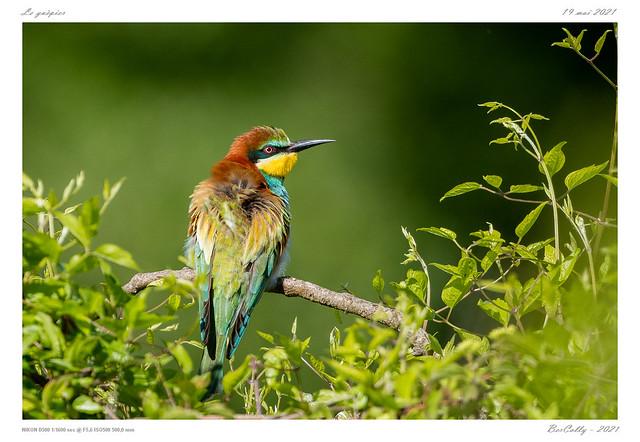 Le guêpier | Bee-eater