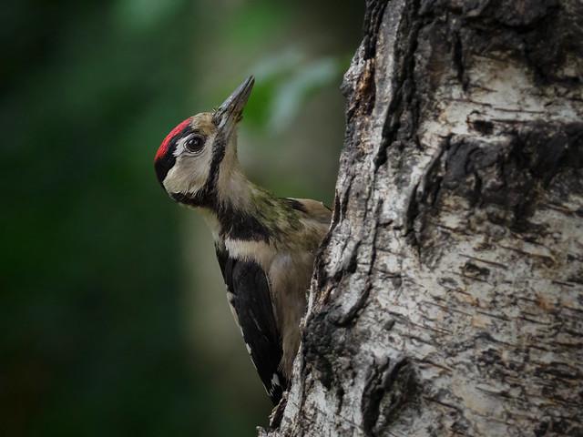 Great Spotted Woodpecker (juvenile) - Buntspecht im Jugendkleid