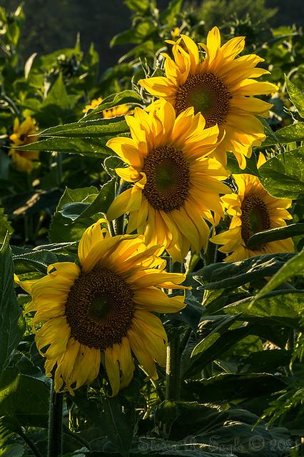 Sun Flower Farm_10