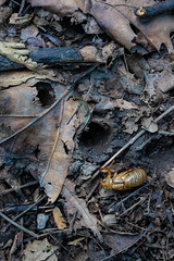 Emergence holes of 17-Year Cicadas  near Ann Arbor, Michigan