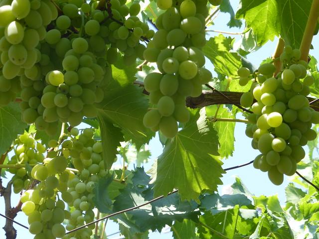 Grapes!!P1120017