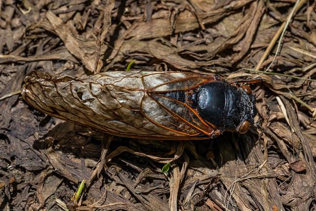 17-Year Cicadas Emerged near Ann Arbor, Michigan