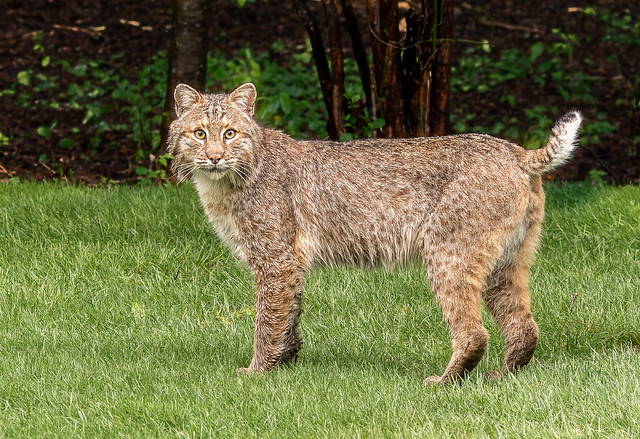 _SLL7695XJudging by the size male Bobcat