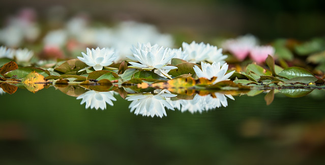 Blühende Seerosen