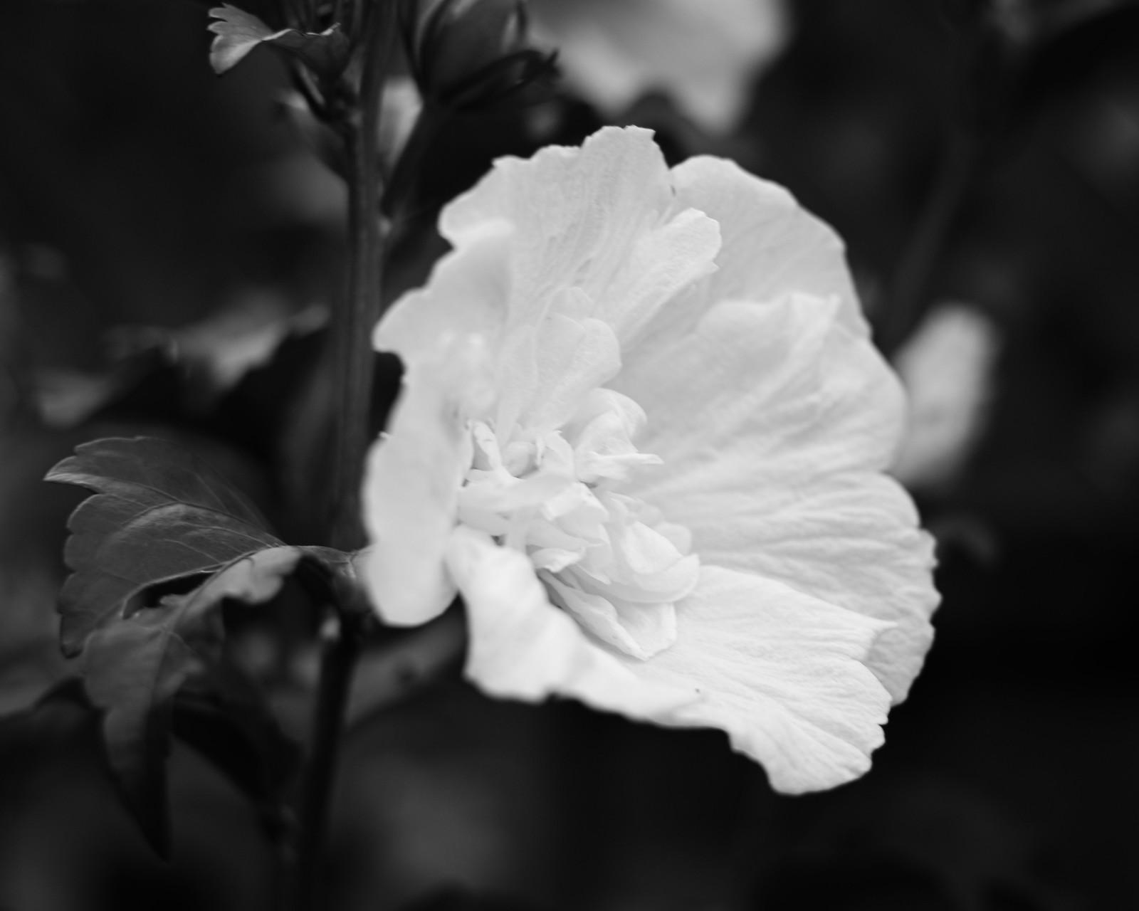 Rose of Charon 2