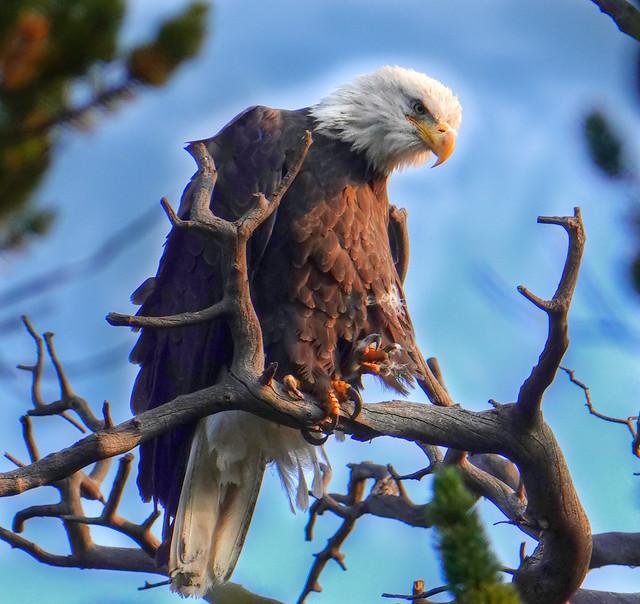Eagle at Echo Lake