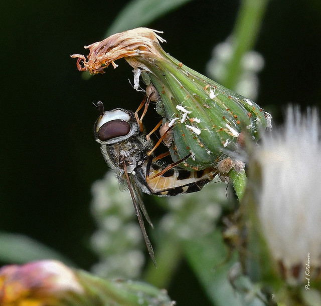 Scaeva pyrastri (female ovipositing amongst aphids on hawksbeard)