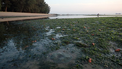 Seagrass meadows at Changi Carpark 6, July 2021