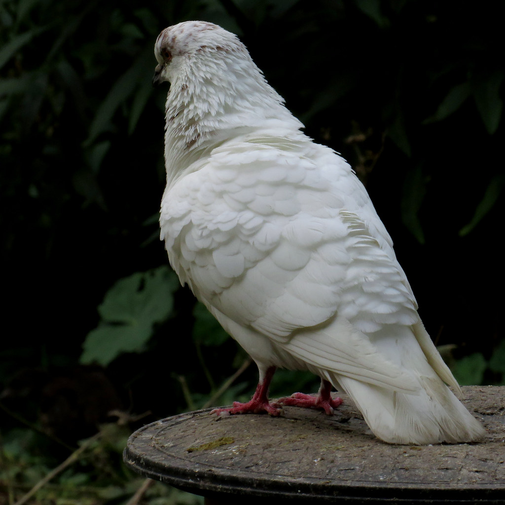 Feral pigeon, Columba livia domestica, Tamduva
