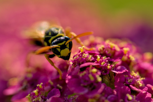 Wasp in Paradise