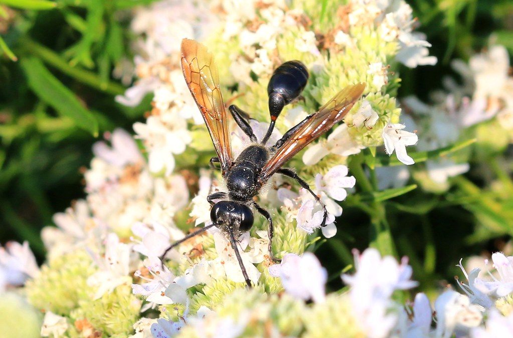 Mexican grass-carrying wasp (Isodontia mexicana) on Virginia mountain mint at Decorah Prairie IA 653A6298