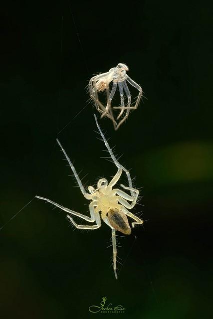 Oxyopidae