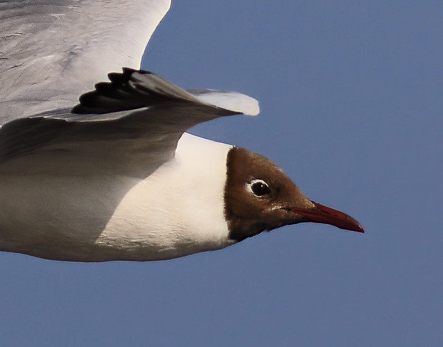 Breeding adult Blackheaded Gull