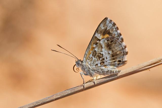 Aricoris campestris
