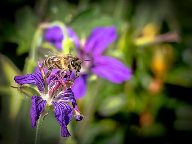 Apis mellifera Honey Bee