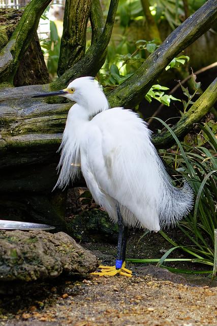 _PDN2587_Snowy Egret; The Florida Aquarium, Tampa