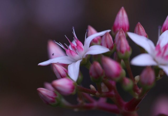 Crassula flowers