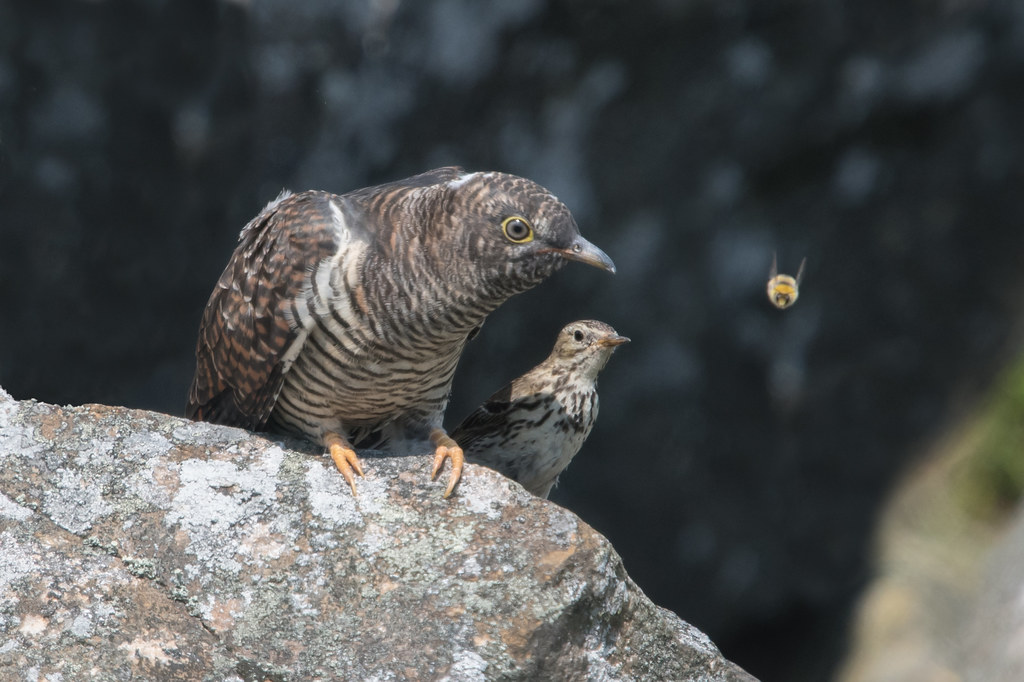 Cuckoo with its Pipit