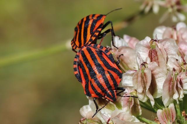 Bugs - Streifenwanze (Graphosoma italicum)