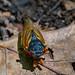 17-Year Cicada Emerged, and now Dead, near Ann Arbor, Michigan
