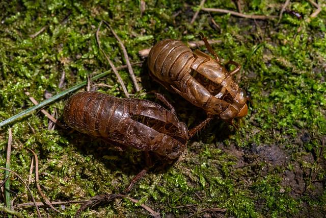 Exoskeletons of 17-Year Cicadas Emerged near Ann Arbor, Michigan