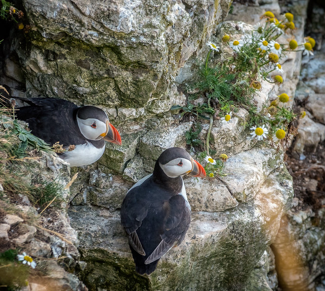 Puffins sat by their little home on the cliffs