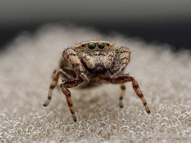 Rhene spider
