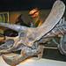 Triceratops horridus (ceratopsian dinosaur) (Late Cretaceous) 5