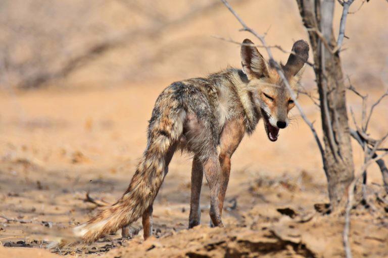 3 印度拉賈斯坦邦感染了疥癬的沙漠狐。圖片來源:Radheshyam Pemani Bishnoi。
