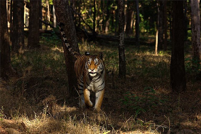 4 印度皮奇老虎保護區(Pench Tiger Reserve)裡的一頭母老虎。圖片來源:Nconnet:Wikimedia Commons。
