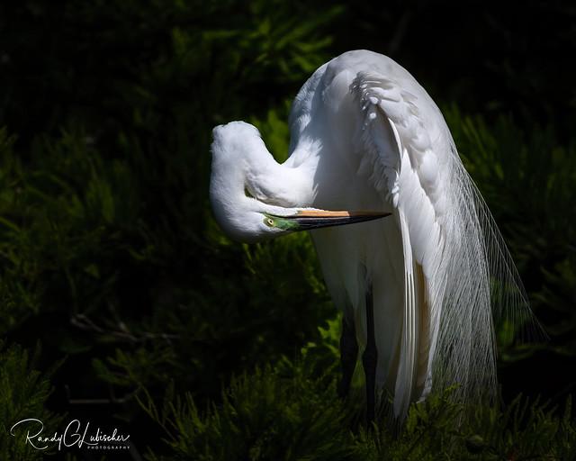 Great Egret | Ardea alba | 2021 - 9