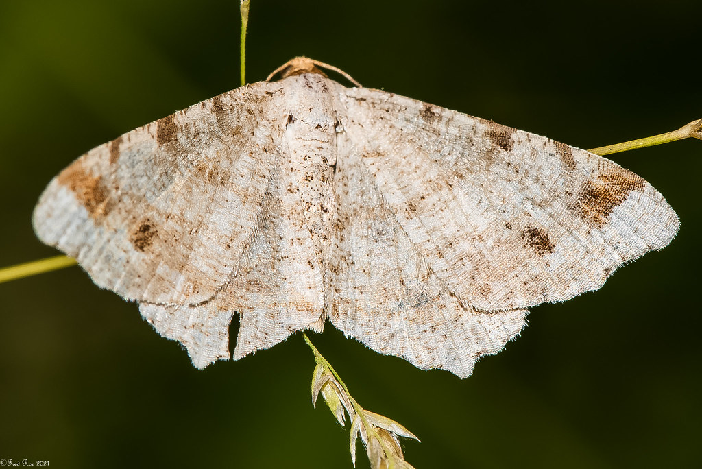 A different moth