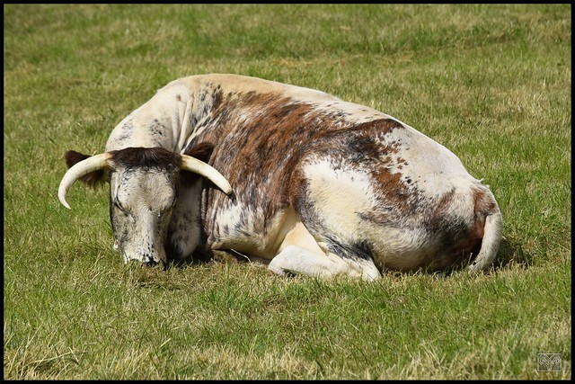 British Long Horn Cow,Flagg,Derbyshire Dales.