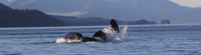 Humpback Whales feeding of Alaska.