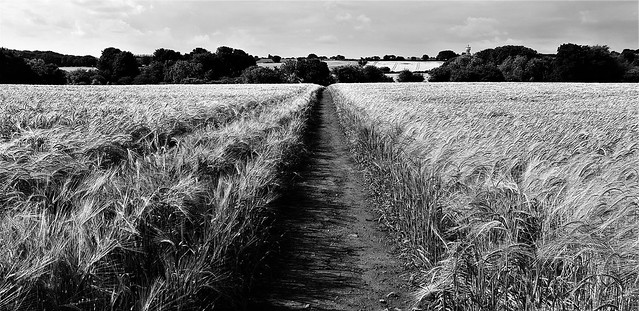 Barley field 1 West Ardsley Mono