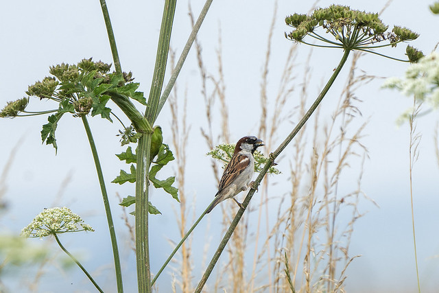 Sparrow in the Umbellifer